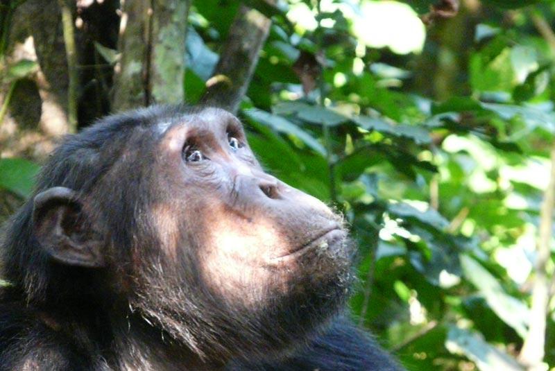 Pensativo chimpancé