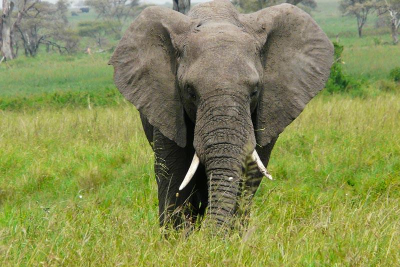 Elefante en el Serengeti