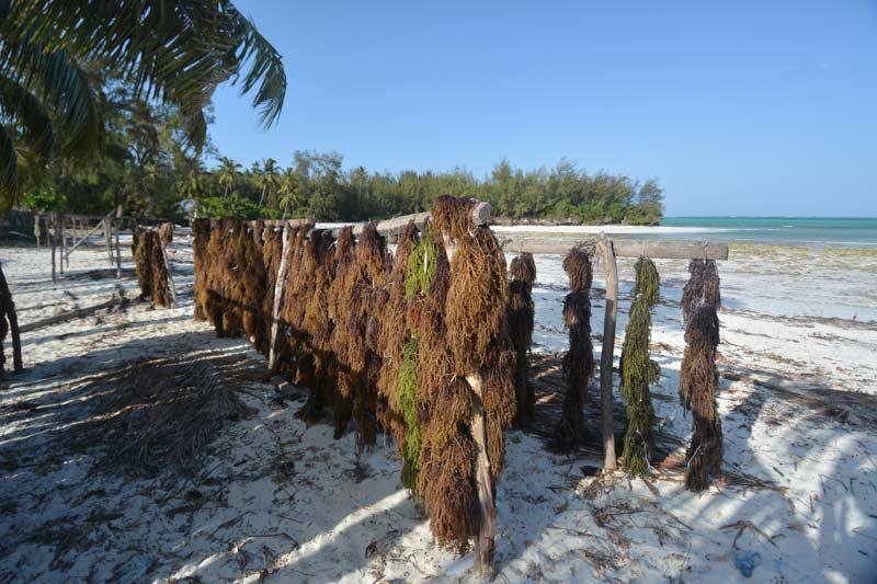 15 Algas secándose en Zanzibar