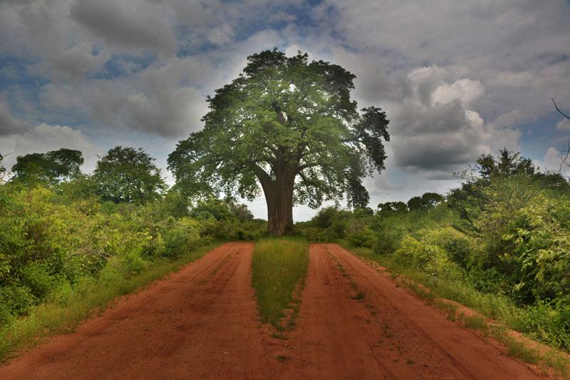 Baobab en el camino a Mana Pools