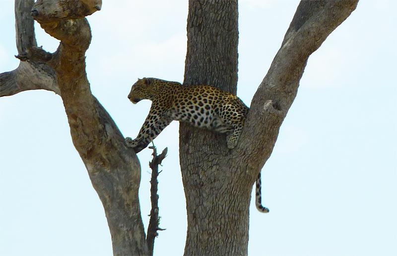 Leopardo acechando a su presa